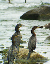 Photo: Neotropic Cormorants, Aticama River mouth on Matanchen Bay
