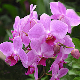 Orchid Cluster by Millieanne T - Flowers Flower Gardens