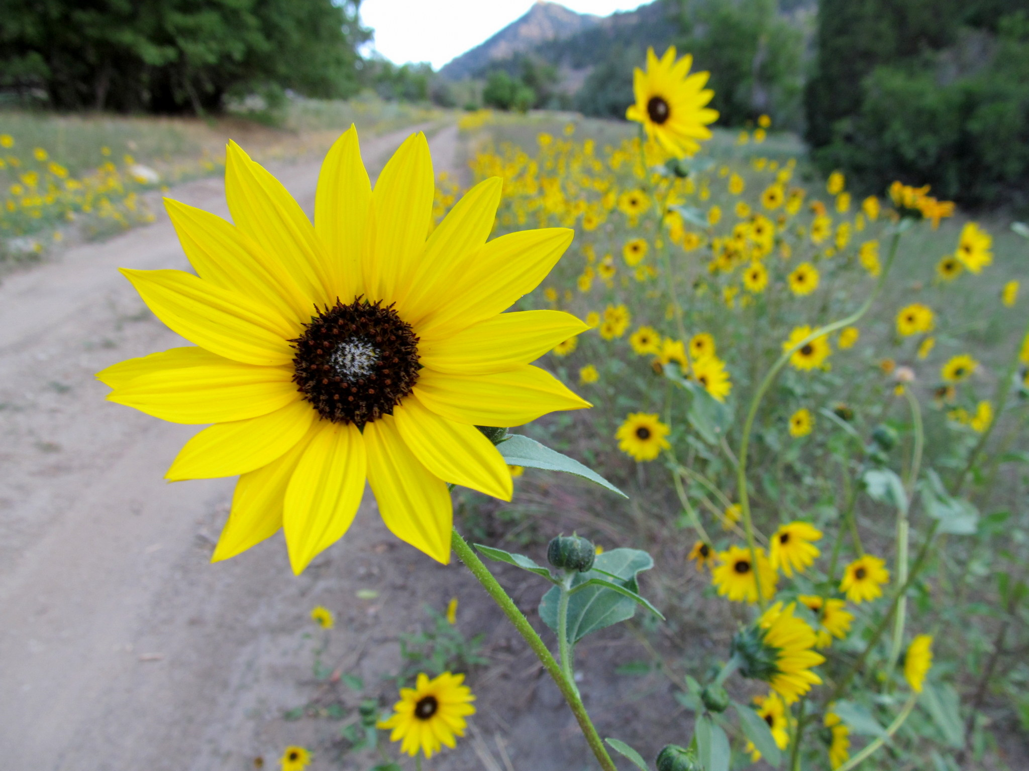 Photo: Sunflowers lining the road