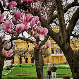 magnolije by Dunja Kolar - Flowers Tree Blossoms ( croatia, magnolija, zagreb )