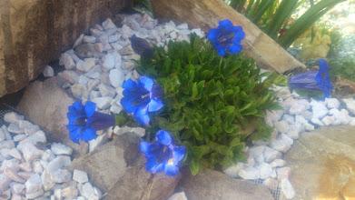 Photo: цветет горечавка