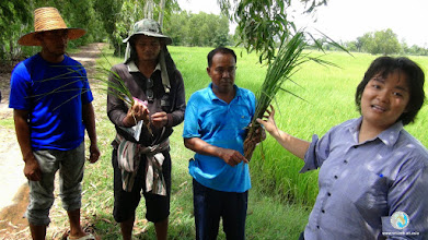 Photo: Happy smart farmers comparing SRI and conventional crop - FPAR (Srikhorapum, Surin)