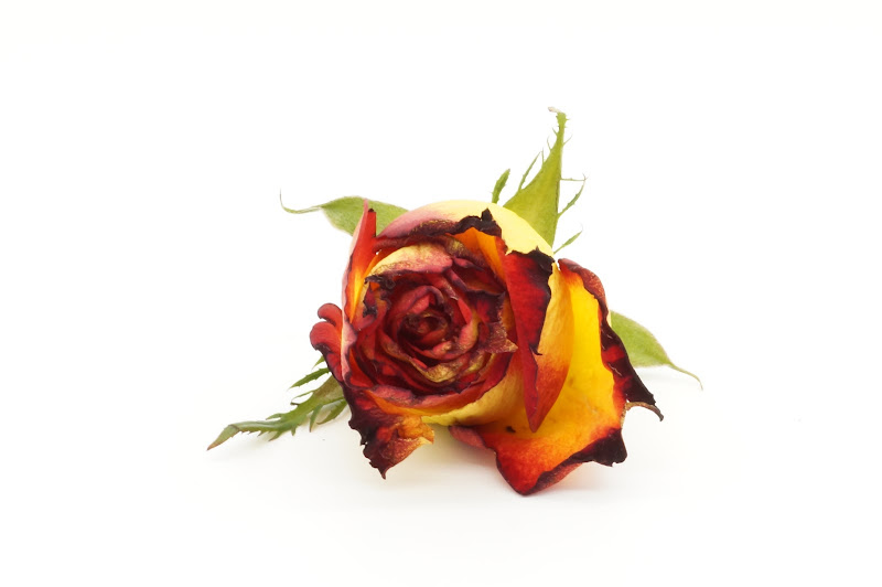Rosa in bianco  di Max11