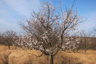 Photo: Almond tree.
