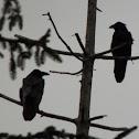 Common Raven ?