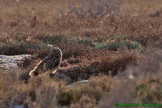 Photo: Gufo di palude | Asio flammeus | Short-eared Owl