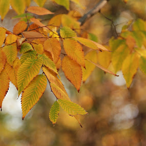 Bokeh And Leaves by Cristina Casati - Nature Up Close Leaves & Grasses ( milan, autumn, colors, harmony, pwcfalleaves, yellow, leaves )