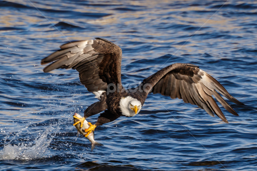 Bald Eagle Catching A Fish Birds Animals Pixoto