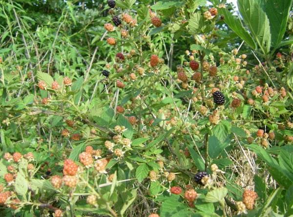 Wild Blackberries Recipe