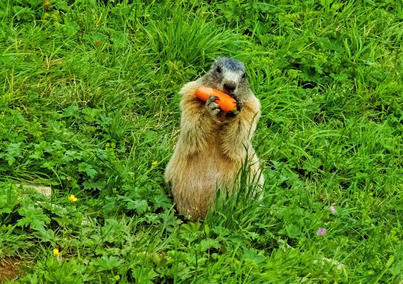 Marmotta golosa.... di Giuseppe Loviglio