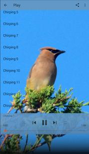 Cedar Waxwing - náhled