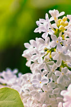 Photo: http://www.redbubble.com/people/inspiraimage/works/14776952-white-lilac-flowers