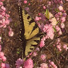 Eastern tiger swallowtail buttefly
