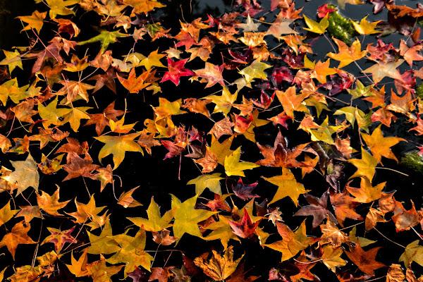 foglie ... foglie ...foglie ... di paolo_ross