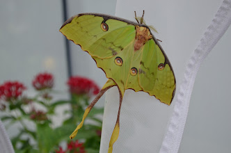 "Photo: Meet the newest member of our Butterflies LIVE family -- the African moon moth, otherwise known as Argema mimosae. This one emerged yesterday & resembles the better known Luna moth, but with crossed ""tails"". Except for the ""scary eyes"" on its wings, the moth blends in with green surrounding foliage in nature."