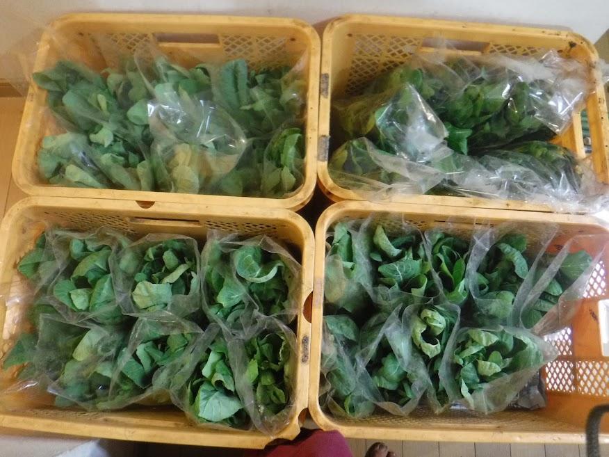 小松菜の菜花がいっぱい!