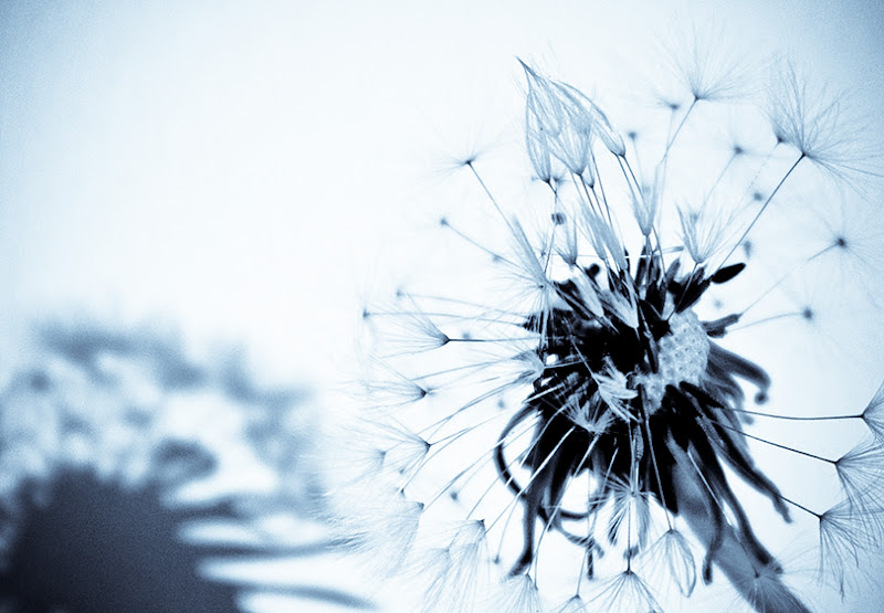 Photo: high-key dandelion