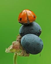 Photo: Coccinelle à sept points, Coccinella septempunctata, Seven-spot ladybirds  http://lepidoptera-butterflies.blogspot.com/