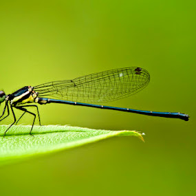 I'm glowing by Irfan Marindra - Animals Insects & Spiders ( macro, dragonfly, insect )