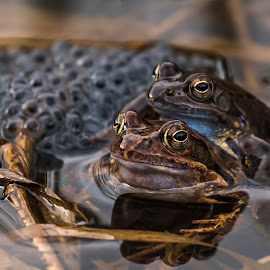 Frogs by Andrej Kozelj - Animals Amphibians ( wild, nature, frog, wildlife, frogs, close up, natural )