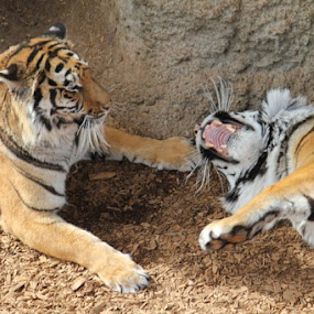 playing by Monica Walker - Animals Lions, Tigers & Big Cats