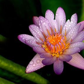 by Saiful El-Shyrazy - Nature Up Close Flowers - 2011-2013