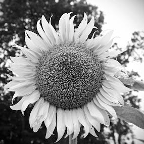 Sunflower by Tiffany Matt - Black & White Flowers & Plants (  )