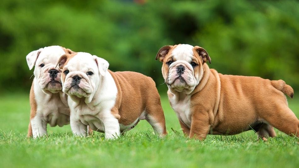 Harga anjing Bulldog (English dan French). Harga jual beli anakan Bulldog di Indonesia