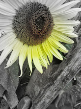 Photo: Colorsplash of a sunflower at Cox Arboretum and Gardens of the Five River Metroparks in Dayton, Ohio.