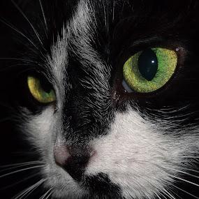 by Joe Spandrusyszyn - Animals - Cats Portraits ( face, cat, black and white, whiskers, green eyes, green yellow eyes, pwc84, #GARYFONGPETS, #SHOWUSYOURPETS,  )