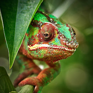 Kameleon_2.jpg