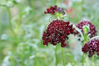 Photo: 拍攝地點: 梅峰-溫帶花卉區 拍攝植物: 松蟲草 拍攝日期: 2014_08_18_FY