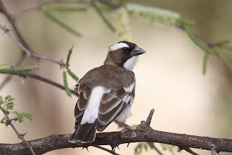 Photo: White-browed Sparrow-weaver