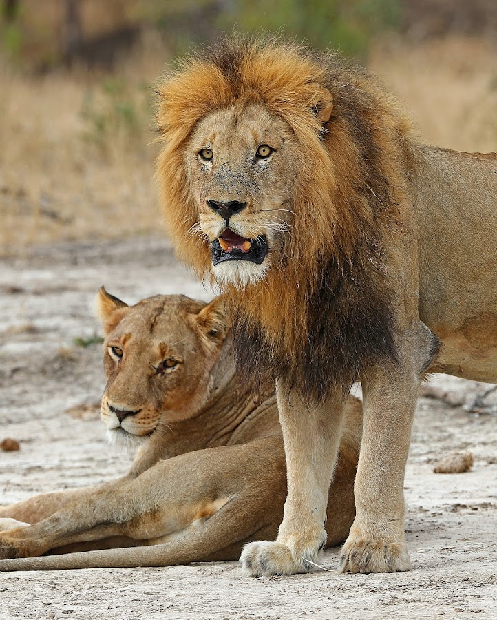 Handsome Couple by Anthony Goldman - Animals Lions, Tigers & Big Cats ( lioness, safari, predator, birmingham coalition, south africa, londolozi, big cat, ntsevu pride, lion, wildlife )