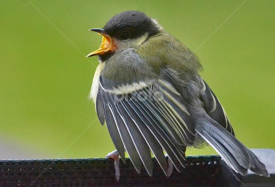 tit in close-up by Ghislain Vancampenhoudt - Animals Birds