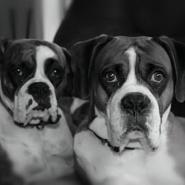 Boxers in Love by Ashley Roberson - Animals - Dogs Portraits ( #boxers, #bestbuds )