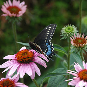 Blue on Purple by Wayne Paton - Nature Up Close Flowers - 2011-2013 ( butterfly, nature, color, wings, flower )