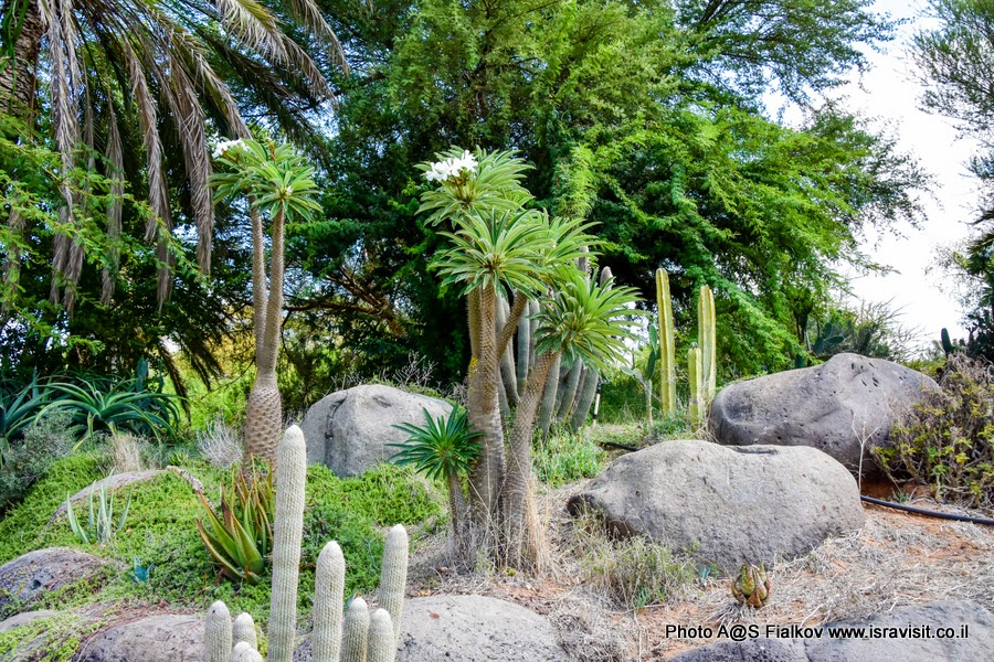 В саду кактусов. Тель Авив. Парк Яркон.