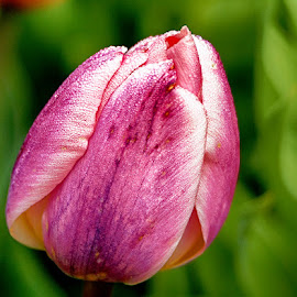 Pink tulip by Radu Eftimie - Flowers Single Flower ( pink, tulip )