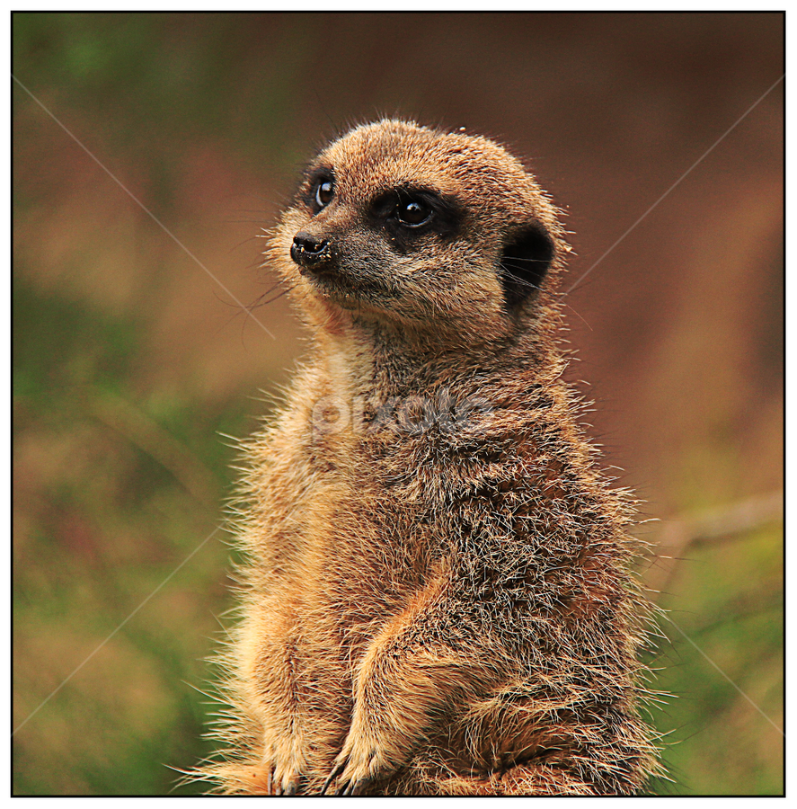 Cutest Face by Mandy Hedley - Animals Other Mammals ( furry, cute, meercat, portrait, mammal, animal,  )