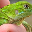 Iguana Verde - Green Iguana