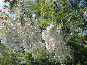 Photo: fehér akác virága
