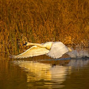 Swan Flight.jpg
