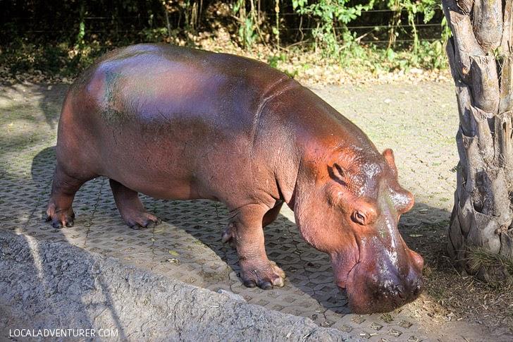 Hippo Taman Safari Bali.