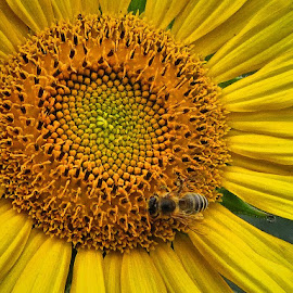 sunflower by Dunja Kolar - Flowers Single Flower ( croatia, zagreb, sunflower )