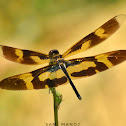 Variegated Flutterer / Common Picture Wing ♀