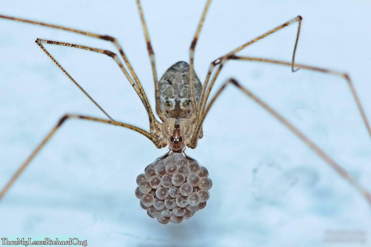 Tailed Cellar Spider