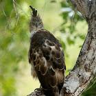 Changeable Hawk Eagle