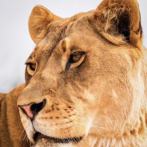 Lioness-30.jpg