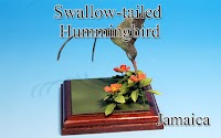 Swallow-tailed Hummingbird -Jamaica-